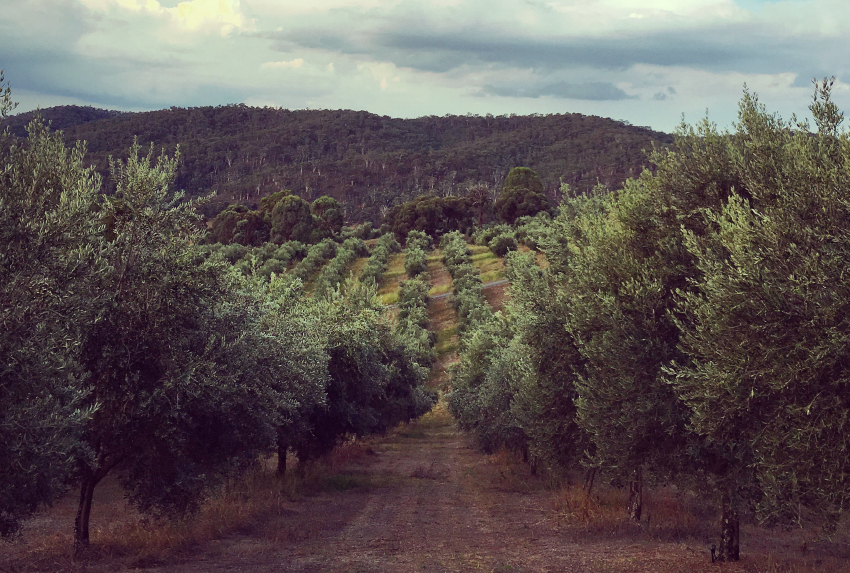 ALTO Olives Westerly Isbaih